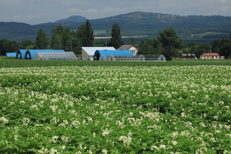 8511 ジャガイモの花