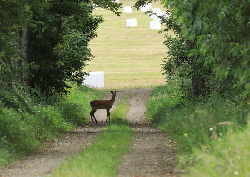 8547 牧草ロールと鹿