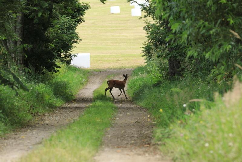 8551 牧草ロールと鹿