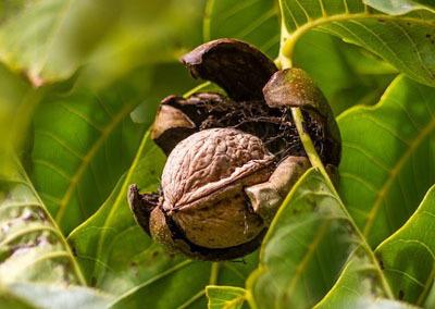 walnut-970451_1280.jpg