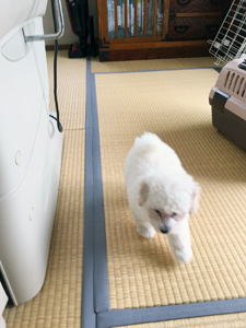 トイプードルちゃんより愛犬自慢をいただきました