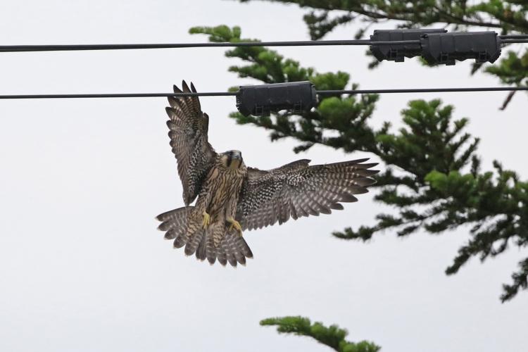 2019-6-27-ハヤブサ幼鳥166A3944