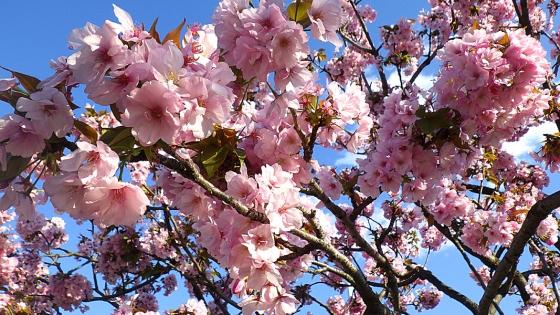 造幣局 桜の通り抜け 2019 Part1 八重紫桜(やえむらさきさくら)