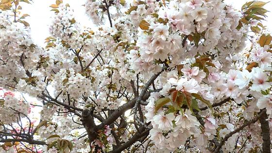 造幣局 桜の通り抜け 2019 Part1 祇王寺祇女桜(ぎおうじぎじょざくら)