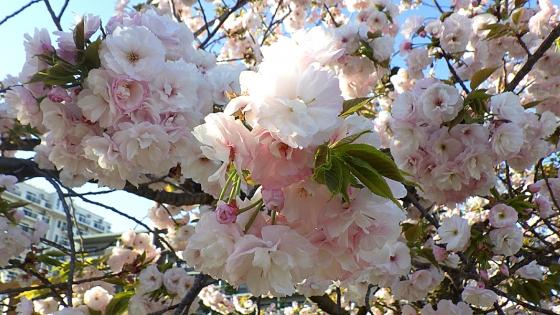 造幣局 桜の通り抜け 2019 Part2 一葉(いちよう)