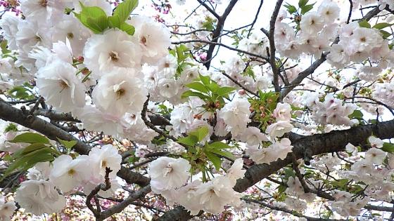 造幣局 桜の通り抜け 2019 Part2 奥都(おくみやこ)
