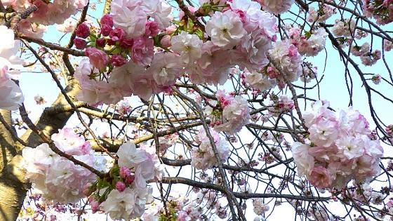 造幣局 桜の通り抜け 2019 Part2 八重曙(やえあけぼの)