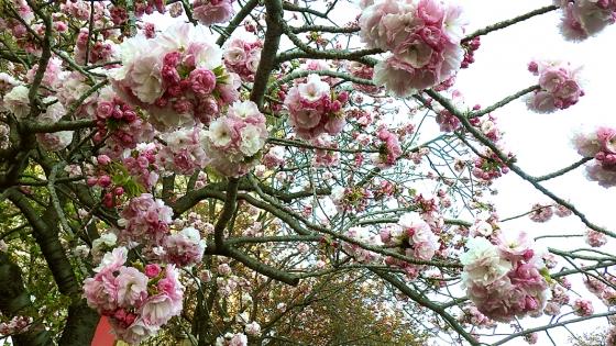 造幣局 桜の通り抜け 2019 Part2 今年の花 紅手毬(べにてまり)