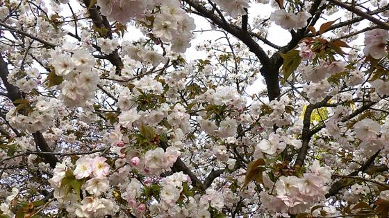 造幣局 桜の通り抜け 2019 Part2 高台寺(こうだいじ)