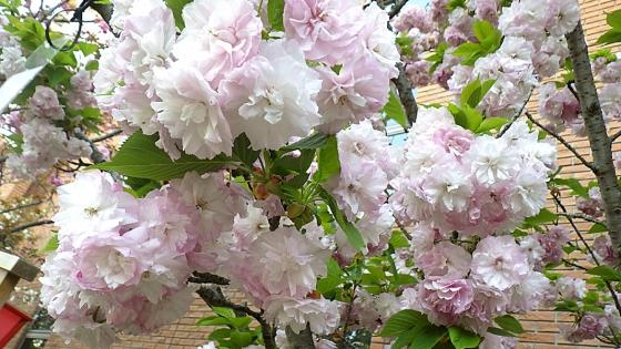 造幣局 桜の通り抜け 2019 Part3 日暮(ひぐらし)