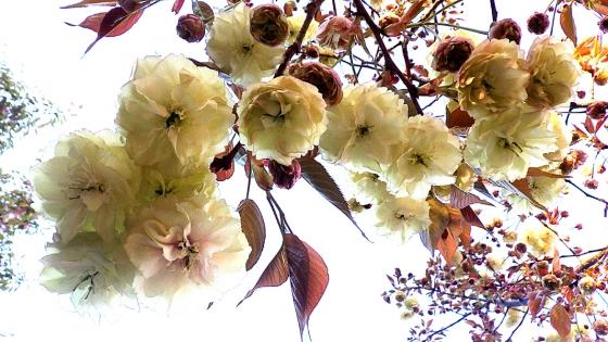 造幣局 桜の通り抜け 2019 Part4 須磨浦普賢象(すまうらふげんぞう)