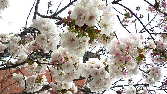 造幣局 桜の通り抜け 2019 Part4 千里香(せんりこう)