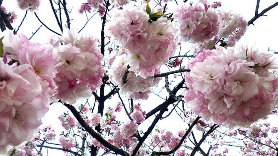造幣局 桜の通り抜け 2019 Part4 福禄寿(ふくろくじゅ)