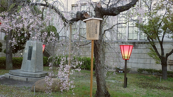 造幣局 桜の通り抜け 2019 Part4 八重紅枝垂(やえべにしだれ)