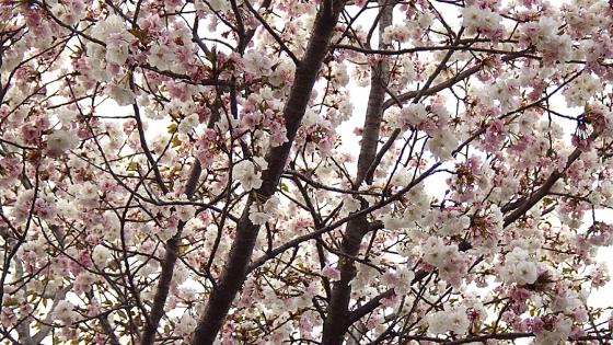 造幣局 桜の通り抜け 2019 Part5 御座の間匂(ござのまにおい)