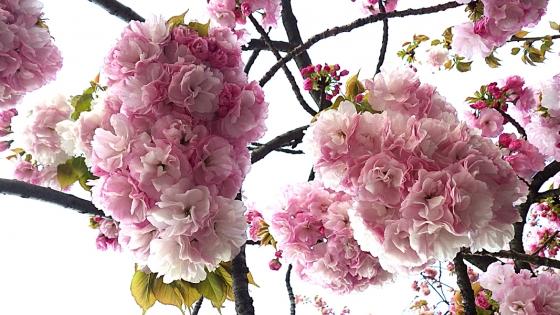 造幣局 桜の通り抜け 2019 Part5 小手毬(こでまり)