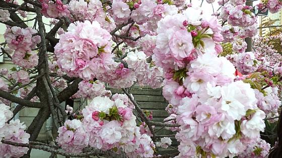 造幣局 桜の通り抜け 2019 Part5 紅手毬(べにてまり)