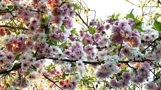 造幣局 桜の通り抜け 2019 Part5 笹賀鴛鴦桜(ささがおしどりざくら)