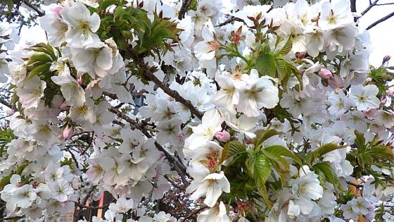 造幣局 桜の通り抜け 2019 Part5 大島桜(おおしまざくら)