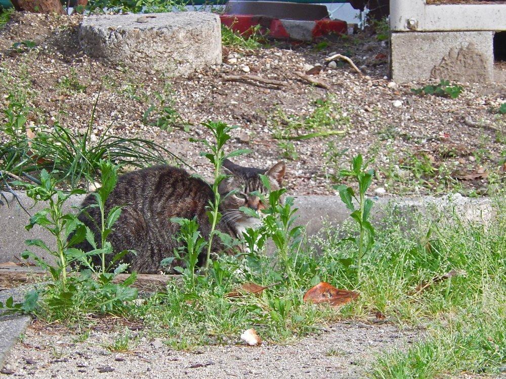 隠れたつもりの縞猫