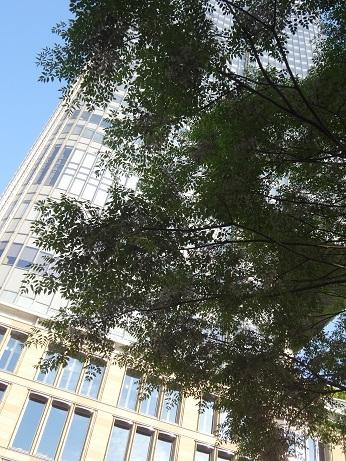 街路樹の栴檀