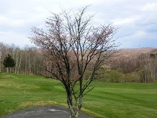 千歳からまつ#9桜はまだ