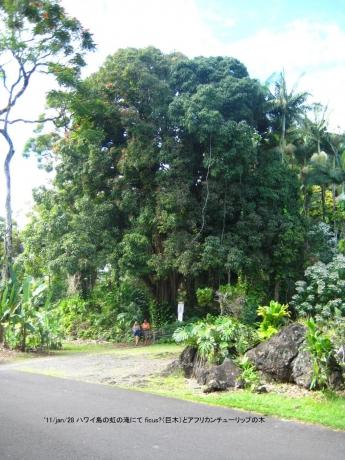 ハワイ島の巨木