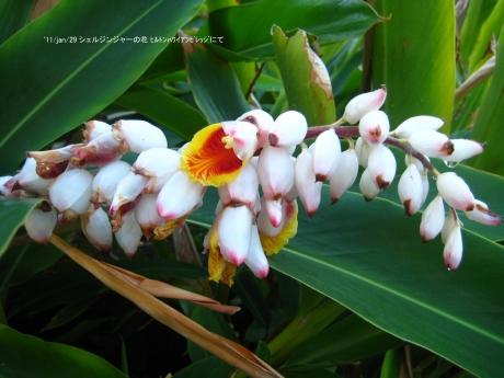 シェルジンジャーの花