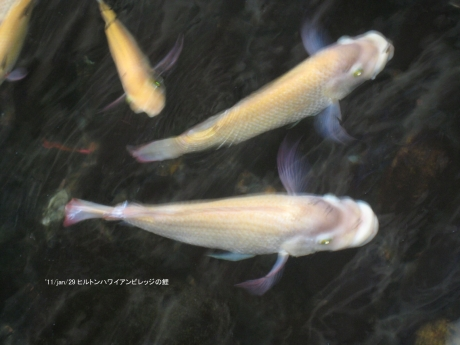 ヒルトンハワイアンビレッジの鯉