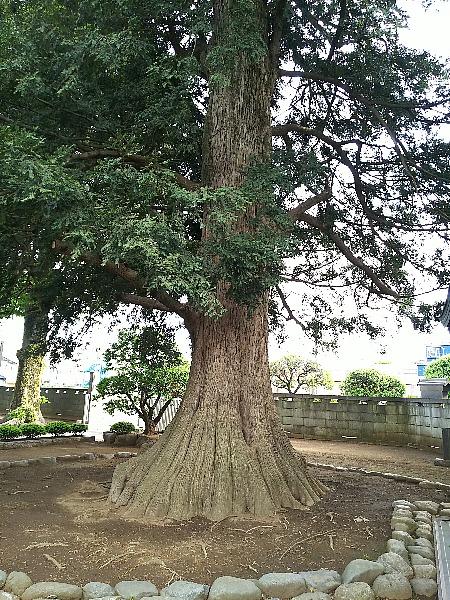 梅岩寺かやの木