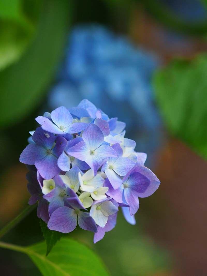 紫陽花2019602e