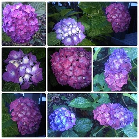 紫陽花令和元年6月