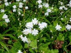 24シャガが花盛り