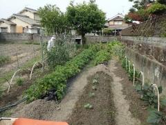 1ジャガイモの成育