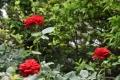 二番咲きヘルツアス