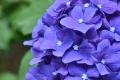 31アジサイ紫