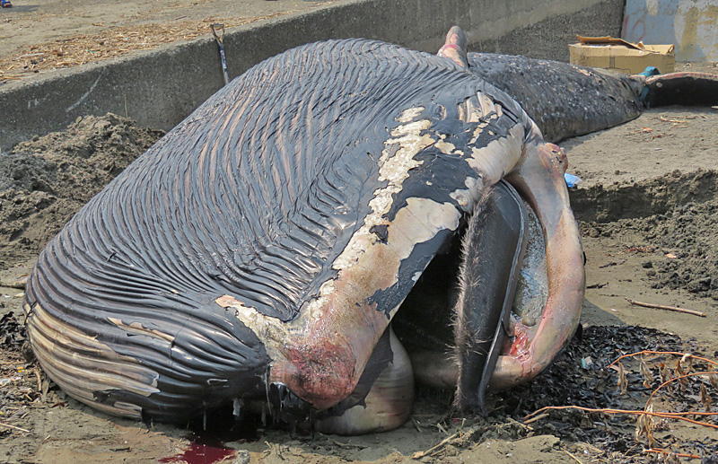 180806,シロナガスクジラ @ 由比ガ浜02