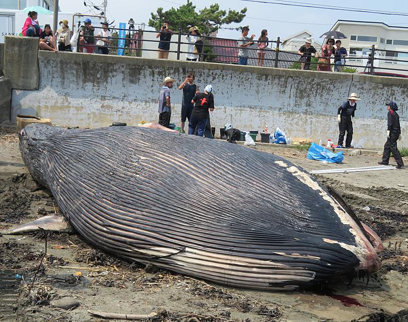 180806,シロナガスクジラ @ 由比ガ浜04