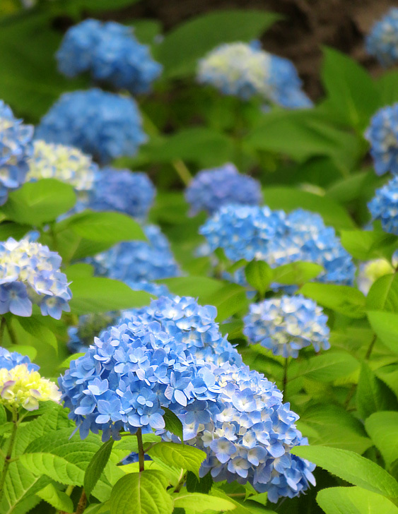 190601,城ヶ島の花たち1
