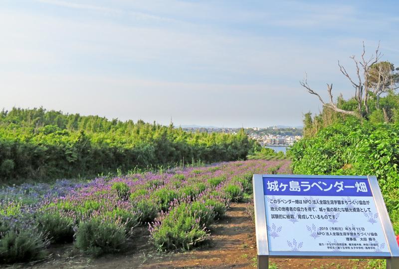 190601,城ヶ島の花たち2