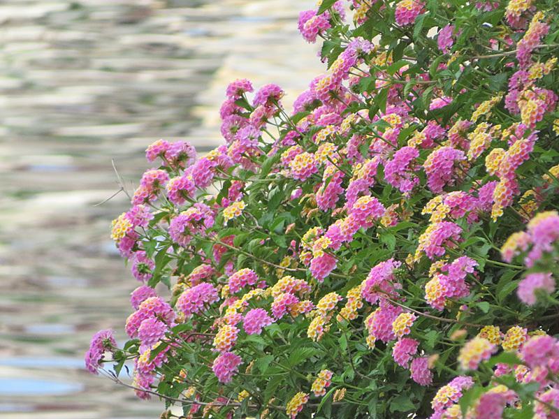 190601,城ヶ島の花たち8