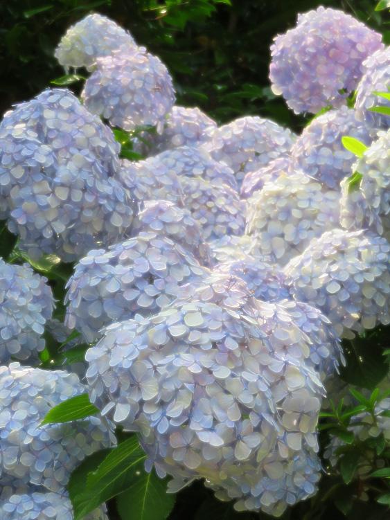 190619,街角の紫陽花1