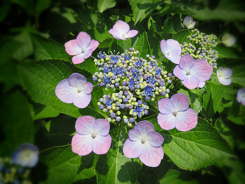 190619,街角の紫陽花3