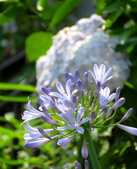 190619,街角の紫陽花5