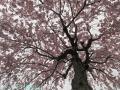 2019年のしだれ桜1