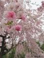 2019年のしだれ桜2
