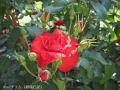 薔薇のシーズン1