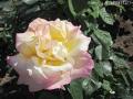 薔薇のシーズン2