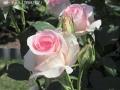 薔薇のシーズン3