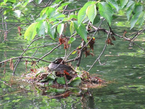 カイツブリの営巣